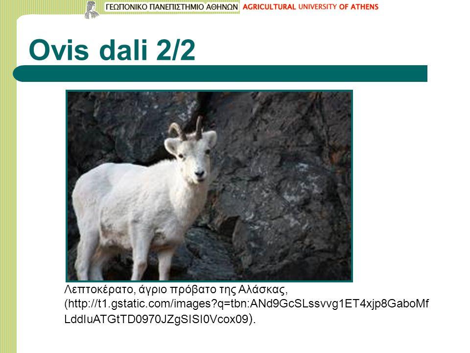 Ovis dali 2/2 Λεπτοκέρατο, άγριο πρόβατο της Αλάσκας, (http://t1.gstatic.com/images?q=tbn:ANd9GcSLssvvg1ET4xjp8GaboMf LddIuATGtTD0970JZgSISI0Vcox09 ).