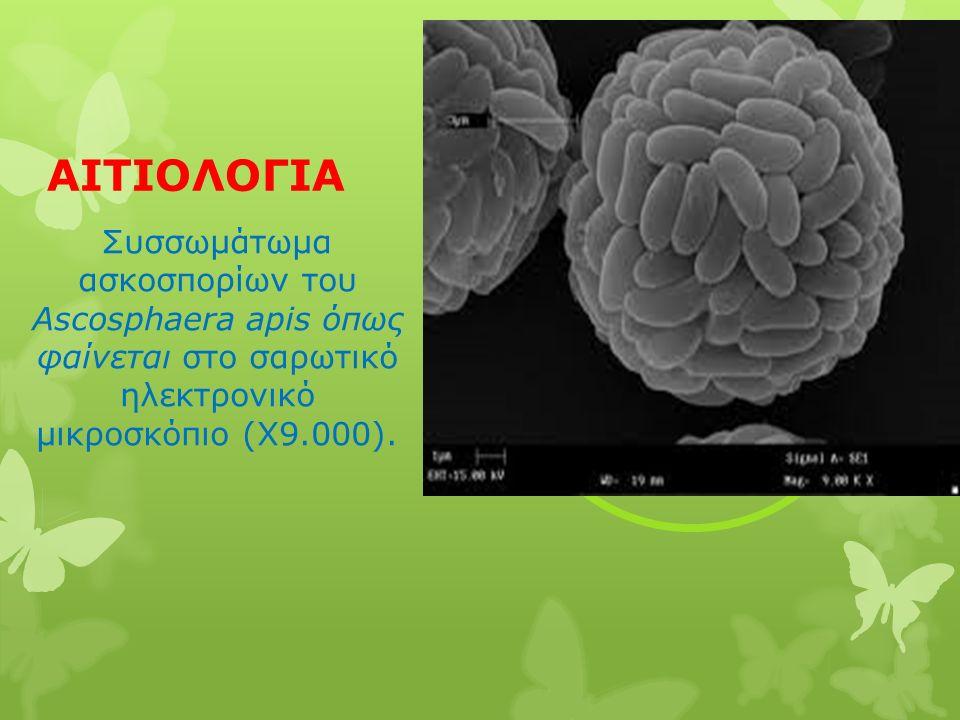 ΑΙΤΙΟΛΟΓΙΑ Συσσωμάτωμα ασκοσπορίων του Ascosphaera apis όπως φαίνεται στο σαρωτικό ηλεκτρονικό μικροσκόπιο (Χ9.000).