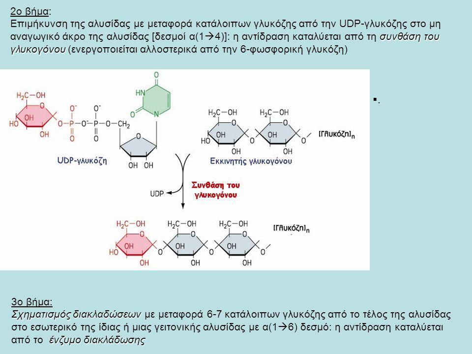 2ο βήμα: συνθάση του γλυκογόνου Επιμήκυνση της αλυσίδας με μεταφορά κατάλοιπων γλυκόζης από την UDP-γλυκόζης στο μη αναγωγικό άκρο της αλυσίδας [δεσμοί α(1  4)]: η αντίδραση καταλύεται από τη συνθάση του γλυκογόνου (ενεργοποιείται αλλοστερικά από την 6-φωσφορική γλυκόζη) ..