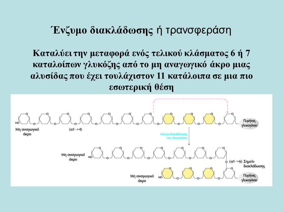 Ένζυμο διακλάδωσης ή τρανσφεράση Καταλύει την μεταφορά ενός τελικού κλάσματος 6 ή 7 καταλοίπων γλυκόζης από το μη αναγωγικό άκρο μιας αλυσίδας που έχει τουλάχιστον 11 κατάλοιπα σε μια πιο εσωτερική θέση