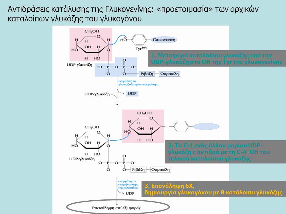 Αντιδράσεις κατάλυσης της Γλυκογενίνης: «προετοιμασία» των αρχικών καταλοίπων γλυκόζης του γλυκογόνου 1.