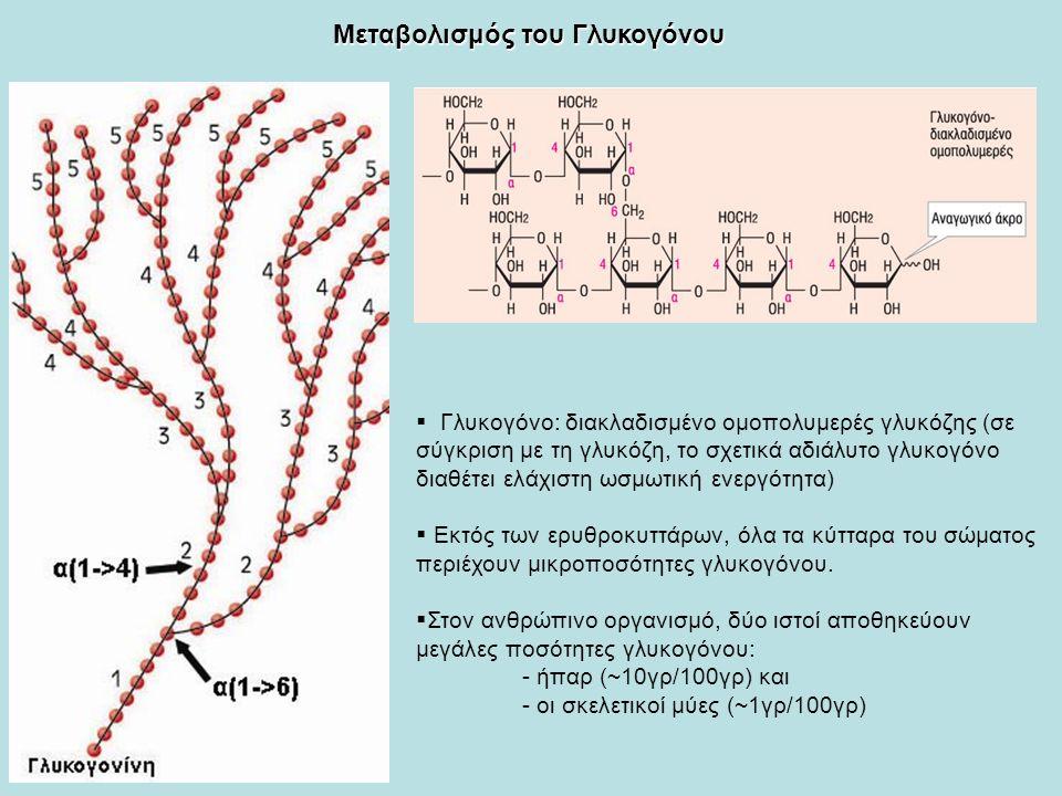  Γλυκογόνο: διακλαδισμένο ομοπολυμερές γλυκόζης (σε σύγκριση με τη γλυκόζη, το σχετικά αδιάλυτο γλυκογόνο διαθέτει ελάχιστη ωσμωτική ενεργότητα)  Εκτός των ερυθροκυττάρων, όλα τα κύτταρα του σώματος περιέχουν μικροποσότητες γλυκογόνου.