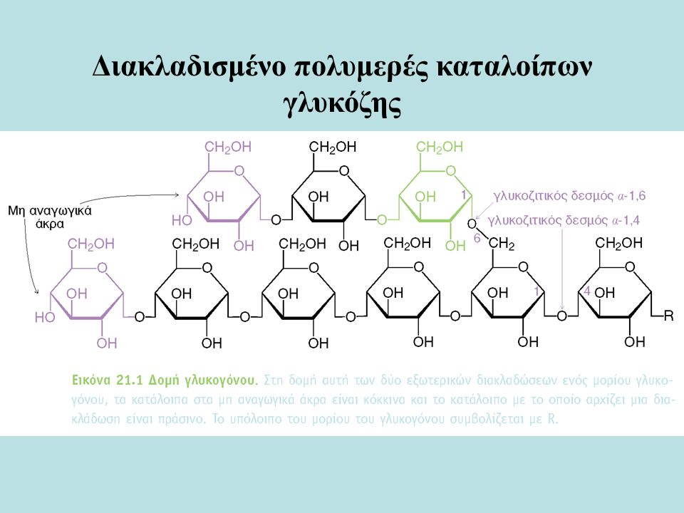 Αποδόμηση του γλυκογόνου (Γλυκογονόλυση)  Η διακλαδισμένη δομή του γλυκογόνου επιτρέπει την ταχεία απελευθέρωση κατάλοιπων γλυκόζης φωσφορυλάση του γλυκογόνου 1-φωσφορική γλυκόζη  Η φωσφορυλάση του γλυκογόνου διασπά τα κατάλοιπα ενός μη αναγωγικού άκρου το ένα μετά το άλλο απελευθερώνοντας 1-φωσφορική γλυκόζη.