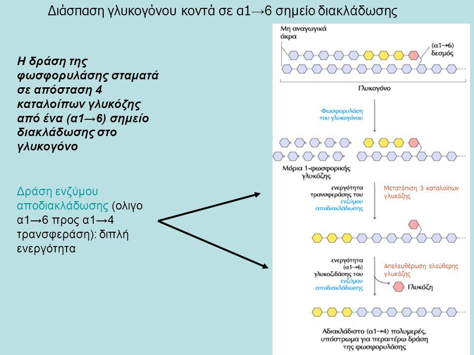 Δράση ενζύμου αποδιακλάδωσης (ολιγο α1→6 προς α1→4 τρανσφεράση): διπλή ενεργότητα Η δράση της φωσφορυλάσης σταματά σε απόσταση 4 καταλοίπων γλυκόζης από ένα (α1→6) σημείο διακλάδωσης στο γλυκογόνο Διάσπαση γλυκογόνου κοντά σε α1 →6 σημείο διακλάδωσης Μετατόπιση 3 καταλοίπων γλυκόζης Απελευθέρωση ελεύθερης γλυκόζης