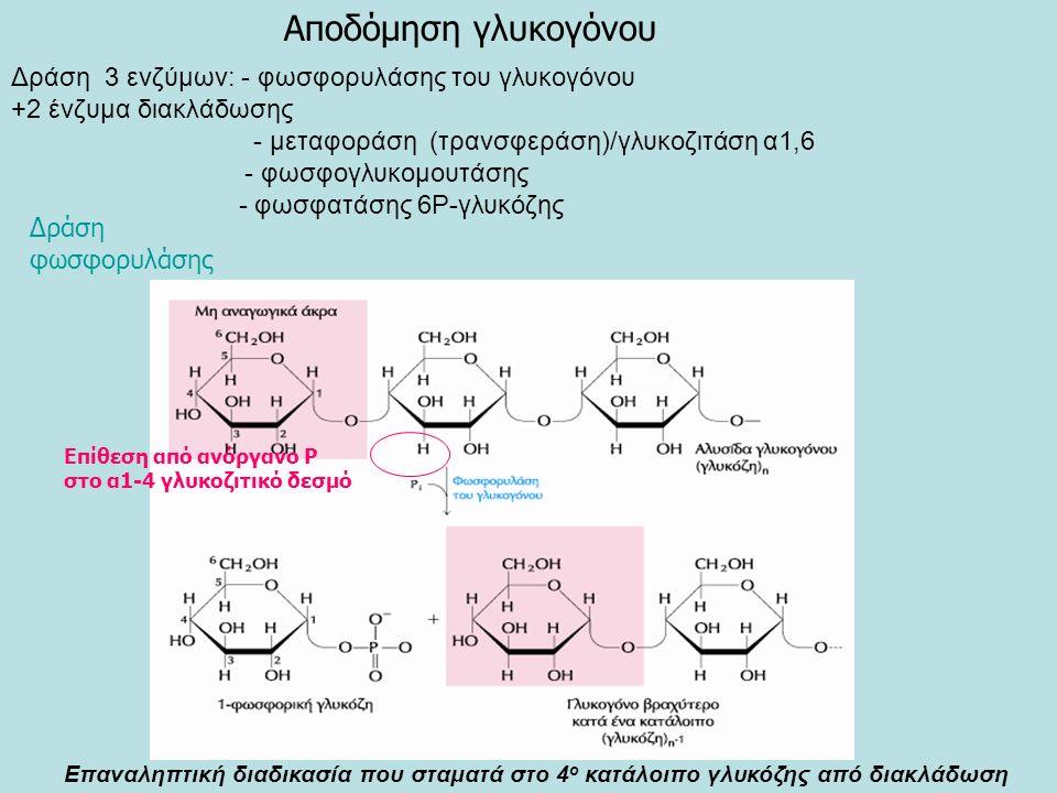 Επαναληπτική διαδικασία που σταματά στο 4 ο κατάλοιπο γλυκόζης από διακλάδωση Δράση 3 ενζύμων: - φωσφορυλάσης του γλυκογόνου +2 ένζυμα διακλάδωσης - μεταφοράση (τρανσφεράση)/γλυκοζιτάση α1,6 - φωσφογλυκομουτάσης - φωσφατάσης 6Ρ-γλυκόζης Αποδόμηση γλυκογόνου Δράση φωσφορυλάσης Επίθεση από ανόργανο Ρ στο α1-4 γλυκοζιτικό δεσμό