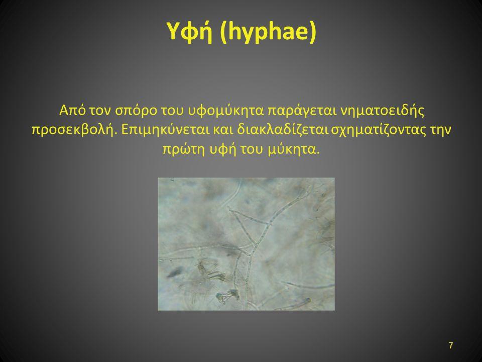 Υφή (hyphae) Από τον σπόρο του υφομύκητα παράγεται νηματοειδής προσεκβολή. Επιμηκύνεται και διακλαδίζεται σχηματίζοντας την πρώτη υφή του μύκητα. 7