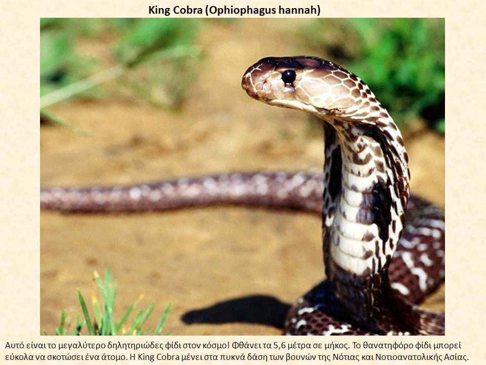 King Cobra (Ophiophagus hannah) Αυτό είναι το μεγαλύτερο δηλητηριώδες φίδι στον κόσμο! Φθάνει τα 5,6 μέτρα σε μήκος. Το θανατηφόρο φίδι μπορεί εύκολα