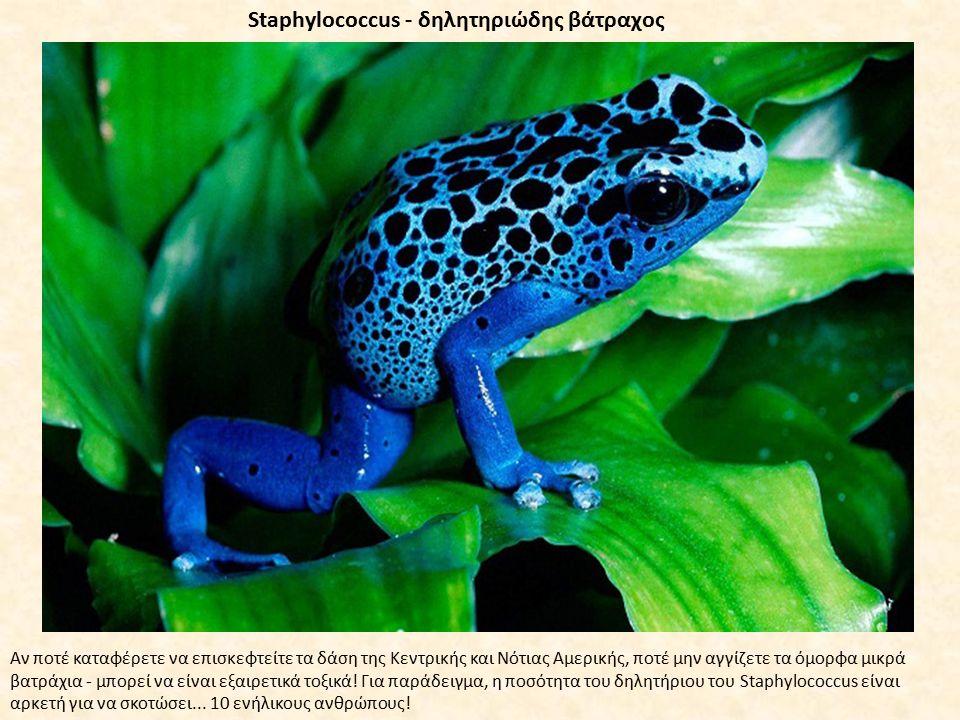 Staphylococcus - δηλητηριώδης βάτραχος Αν ποτέ καταφέρετε να επισκεφτείτε τα δάση της Κεντρικής και Νότιας Αμερικής, ποτέ μην αγγίζετε τα όμορφα μικρά βατράχια - μπορεί να είναι εξαιρετικά τοξικά.