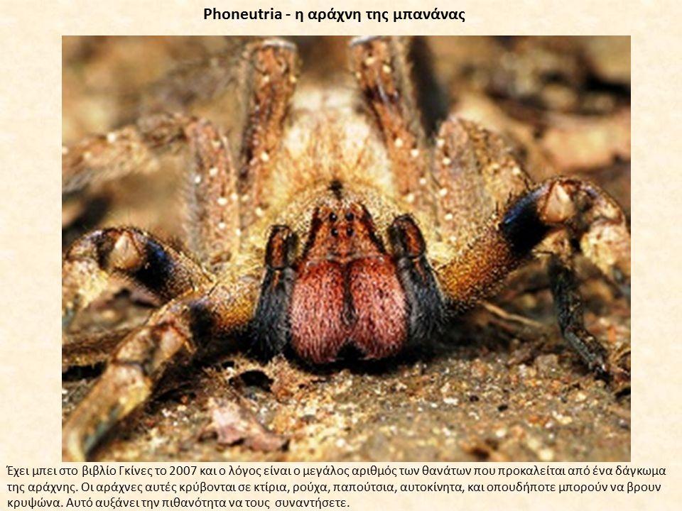 Phoneutria - η αράχνη της μπανάνας Έχει μπει στο βιβλίο Γκίνες το 2007 και ο λόγος είναι ο μεγάλος αριθμός των θανάτων που προκαλείται από ένα δάγκωμα της αράχνης.