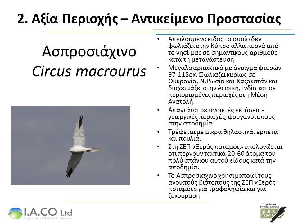 Ασπροσιάχινο Circus macrourus Απειλούμενο είδος το οποίο δεν φωλιάζει στην Κύπρο αλλά περνά από το νησί μας σε σημαντικούς αριθμούς κατά τη μετανάστευση Μεγάλο αρπακτικό με άνοιγμα φτερών 97-118εκ.