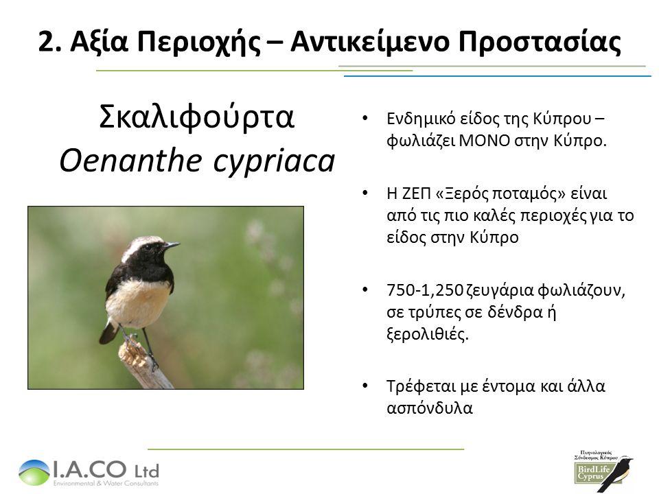 Σκαλιφούρτα Oenanthe cypriaca Ενδημικό είδος της Κύπρου – φωλιάζει ΜΟΝΟ στην Κύπρο.