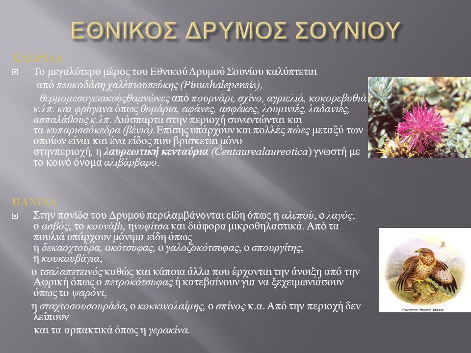 ΧΛΩΡΙΔΑ  Το μεγαλύτερο μέρος του Εθνικού Δρυμού Σουνίου καλύπτεται από πευκοδάση χαλέπιουπεύκης (Pinushalepensis), θερμομεσογειακούςθαμνώνες από πουρνάρι, σχίνο, αγριελιά, κοκορεβυθιά κ.