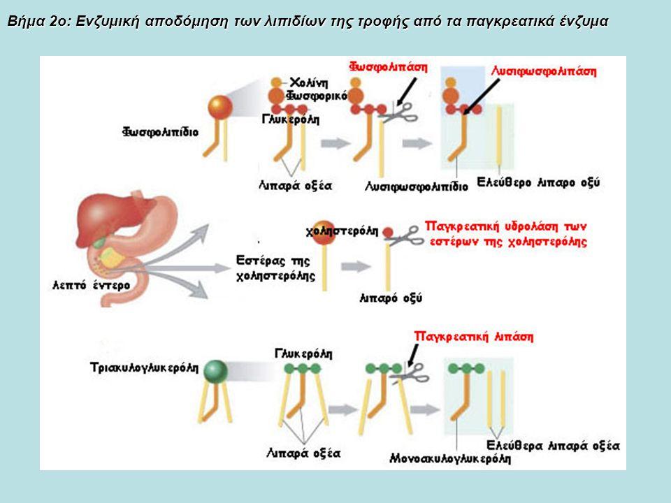 Βήμα 2ο: Ενζυμική αποδόμηση των λιπιδίων της τροφής από τα παγκρεατικά ένζυμα