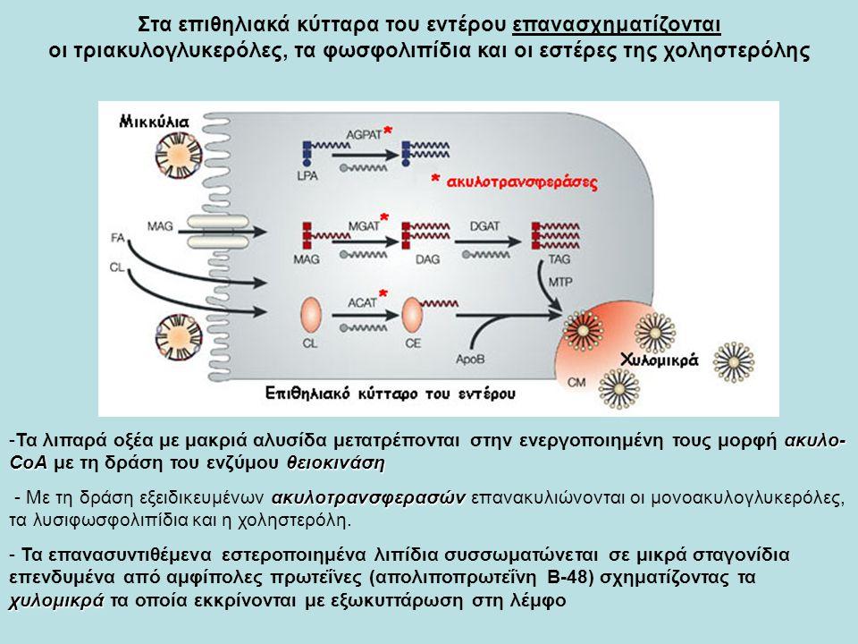 Στα επιθηλιακά κύτταρα του εντέρου επανασχηματίζονται οι τριακυλογλυκερόλες, τα φωσφολιπίδια και οι εστέρες της χοληστερόλης ακυλο- CoAθειοκινάση -Τα λιπαρά οξέα με μακριά αλυσίδα μετατρέπονται στην ενεργοποιημένη τους μορφή ακυλο- CoA με τη δράση του ενζύμου θειοκινάση ακυλοτρανσφερασών - Με τη δράση εξειδικευμένων ακυλοτρανσφερασών επανακυλιώνονται οι μονοακυλογλυκερόλες, τα λυσιφωσφολιπίδια και η χοληστερόλη.