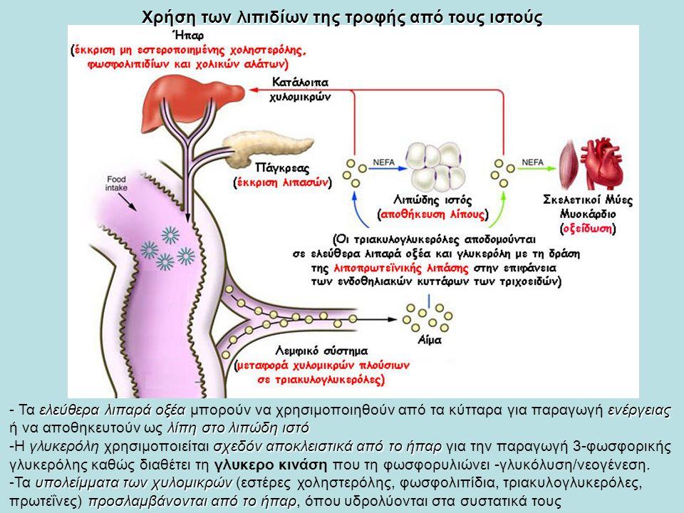 Χρήση των λιπιδίων της τροφής από τους ιστούς ελεύθερα λιπαρά οξέαενέργειας λίπη στο λιπώδη ιστό - Τα ελεύθερα λιπαρά οξέα μπορούν να χρησιμοποιηθούν από τα κύτταρα για παραγωγή ενέργειας ή να αποθηκευτούν ως λίπη στο λιπώδη ιστό σχεδόν αποκλειστικά από το ήπαρ -Η γλυκερόλη χρησιμοποιείται σχεδόν αποκλειστικά από το ήπαρ για την παραγωγή 3-φωσφορικής γλυκερόλης καθώς διαθέτει τη γλυκερο κινάση που τη φωσφορυλιώνει -γλυκόλυση/νεογένεση.