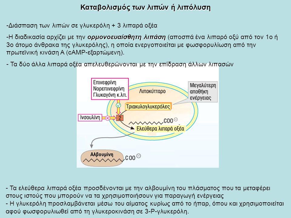 Καταβολισμός των λιπών ή λιπόλυση -Διάσπαση των λιπών σε γλυκερόλη + 3 λιπαρά οξέα ορμονοευαίσθητη λιπάση -Η διαδικασία αρχίζει με την ορμονοευαίσθητη λιπάση (αποσπά ένα λιπαρό οξύ από τον 1ο ή 3ο άτομο άνθρακα της γλυκερόλης), η οποία ενεργοποιείται με φωσφορυλίωση από την πρωτεϊνική κινάση Α (cAMP-εξαρτώμενη).