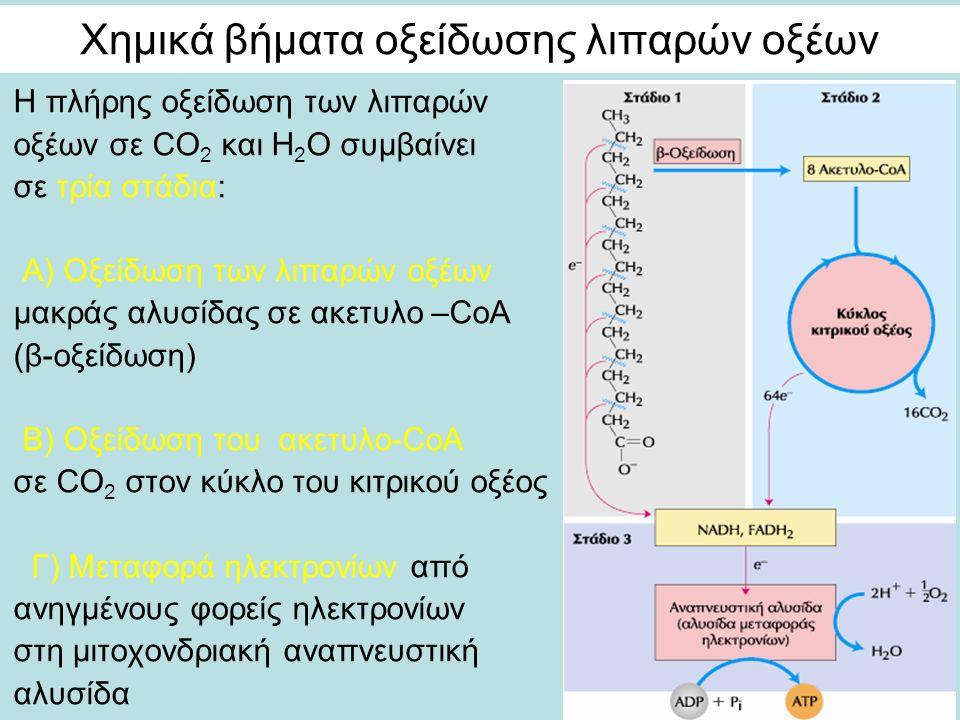 Χημικά βήματα οξείδωσης λιπαρών οξέων Η πλήρης οξείδωση των λιπαρών οξέων σε CΟ 2 και Η 2 Ο συμβαίνει σε τρία στάδια: Α) Οξείδωση των λιπαρών οξέων μακράς αλυσίδας σε ακετυλο –CoA (β-οξείδωση) B) Οξείδωση του ακετυλο-CoA σε CO 2 στον κύκλο του κιτρικού οξέος Γ) Μεταφορά ηλεκτρονίων από ανηγμένους φορείς ηλεκτρονίων στη μιτοχονδριακή αναπνευστική αλυσίδα