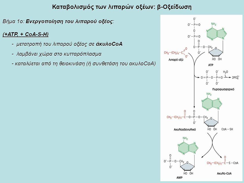 Καταβολισμός των λιπαρών οξέων: β-Οξείδωση Βήμα 1ο: Ενεργοποίηση του λιπαρού οξέος: (+ΑΤΡ, + CoA-S-H) - μετατροπή του λιπαρού οξέος σε άκυλοCoA - λαμβάνει χώρα στο κυτταρόπλασμα - καταλύεται από τη θειοκινάση (ή συνθετάση του ακυλοCoA)