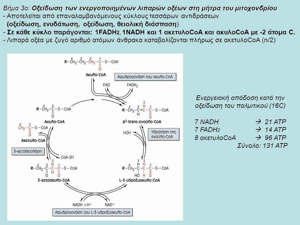 Βήμα 3ο: Οξείδωση των ενεργοποιημένων λιπαρών οξέων στη μήτρα του μιτοχονδρίου - Αποτελείται από επαναλαμβανόμενους κύκλους τεσσάρων αντιδράσεων (οξείδωση, ενυδάτωση, οξείδωση, θειολική διάσπαση) - Σε κάθε κύκλο παράγονται: 1FADH 2, 1ΝADH και 1 ακετυλοCoA και ακυλοCoA με -2 άτομα C.