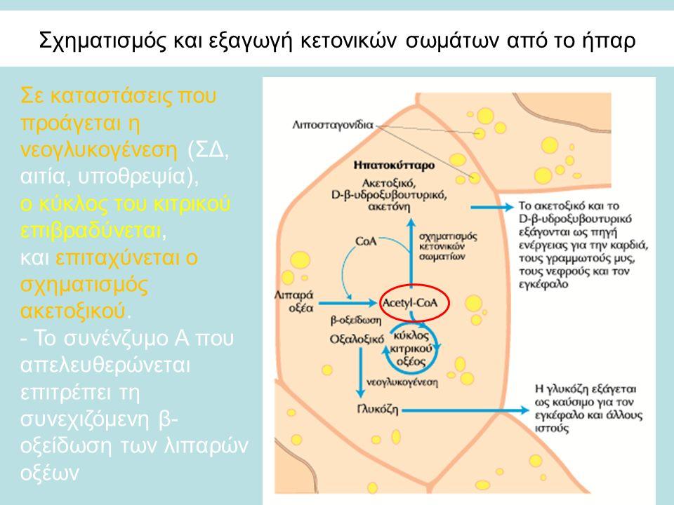 Σχηματισμός και εξαγωγή κετονικών σωμάτων από το ήπαρ Σε καταστάσεις που προάγεται η νεογλυκογένεση (ΣΔ, αιτία, υποθρεψία), ο κύκλος του κιτρικού επιβραδύνεται, και επιταχύνεται ο σχηματισμός ακετοξικού.