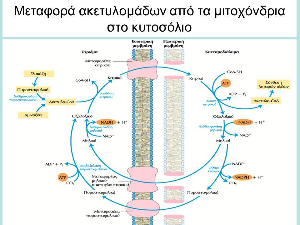 Mεταφορά ακετυλομάδων από τα μιτοχόνδρια στο κυτοσόλιο