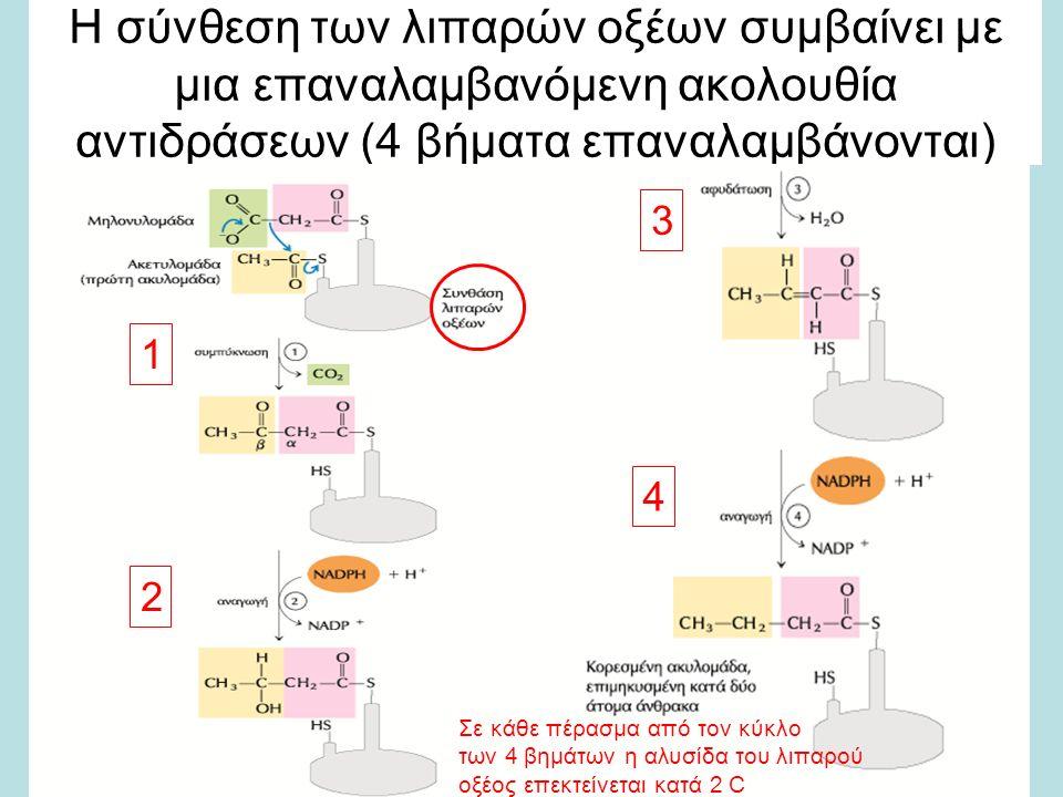 Η σύνθεση των λιπαρών οξέων συμβαίνει με μια επαναλαμβανόμενη ακολουθία αντιδράσεων (4 βήματα επαναλαμβάνονται) 1 2 3 4 Σε κάθε πέρασμα από τον κύκλο των 4 βημάτων η αλυσίδα του λιπαρού οξέος επεκτείνεται κατά 2 C