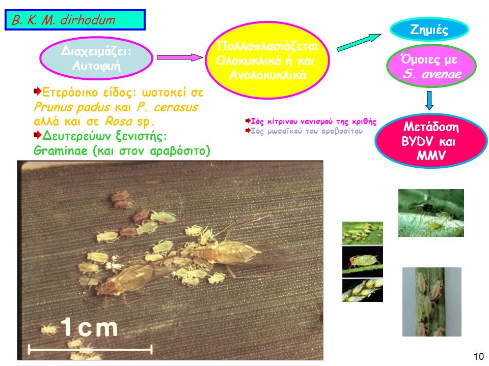 Διαχειμάζει: Αυτοφυή Πολλαπλασιάζεται Ολοκυκλικά ή και Ανολοκυκλικά Ετερόοικο είδος: ωοτοκεί σε Prunus padus και P.