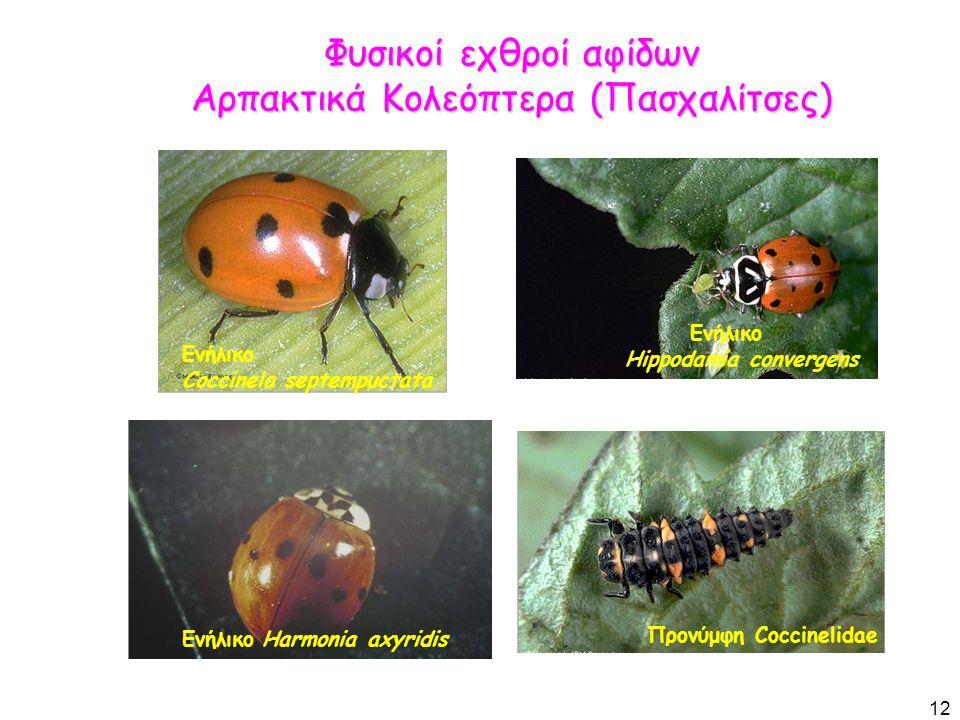 Φυσικοί εχθροί αφίδων Αρπακτικά Κολεόπτερα (Πασχαλίτσες) 12 Ενήλικο Hippodamia convergens Προνύμφη Coccinelidae Ενήλικο Coccinela septempuctata Ενήλικο Harmonia axyridis