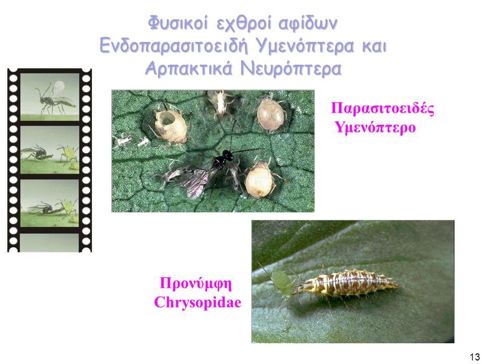 Φυσικοί εχθροί αφίδων Ενδοπαρασιτοειδή Υμενόπτερα και Αρπακτικά Νευρόπτερα Παρασιτοειδές Υμενόπτερο Προνύμφη Chrysopidae 13