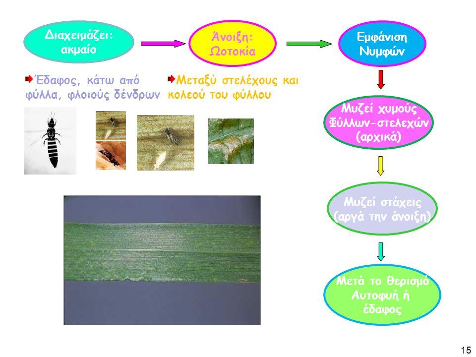 Διαχειμάζει: ακμαίο Άνοιξη: Ωοτοκία Έδαφος, κάτω από φύλλα, φλοιούς δένδρων Μυζεί χυμούς Φύλλων-στελεχών (αρχικά) Μυζεί στάχεις (αργά την άνοιξη) Μεταξύ στελέχους και κολεού του φύλλου Εμφάνιση Νυμφών Μετά το θερισμό Αυτοφυή ή έδαφος 15