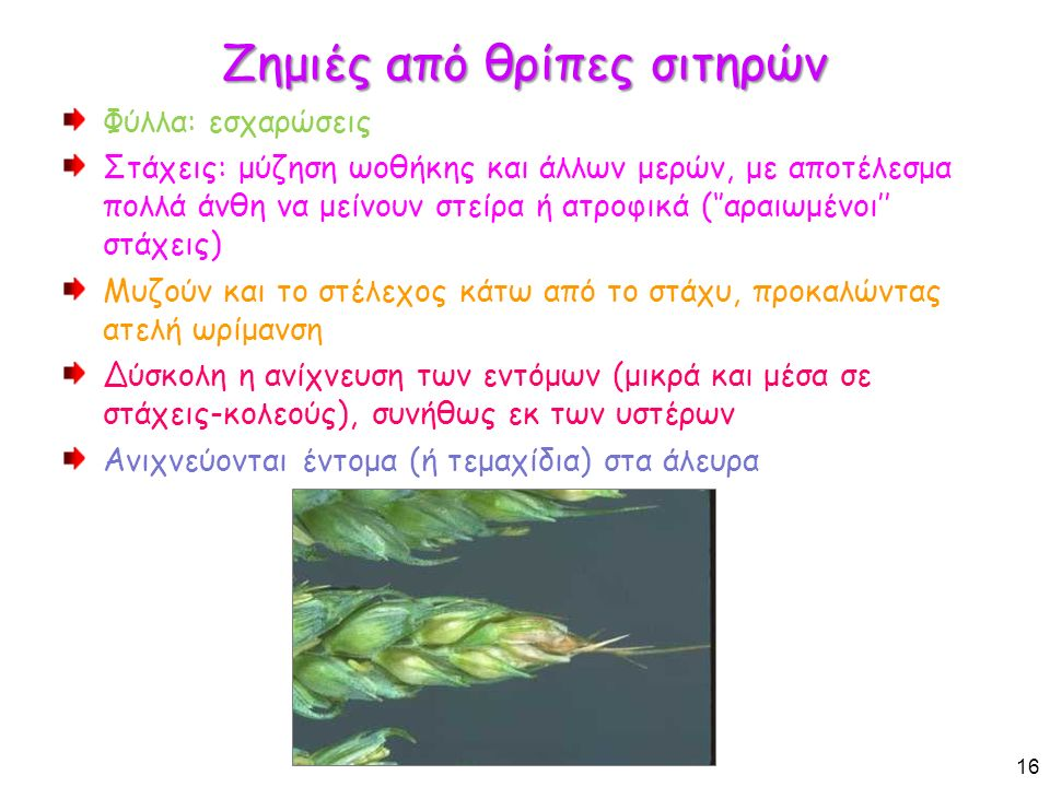 Ζημιές από θρίπες σιτηρών Φύλλα: εσχαρώσεις Στάχεις: μύζηση ωοθήκης και άλλων μερών, με αποτέλεσμα πολλά άνθη να μείνουν στείρα ή ατροφικά (''αραιωμένοι'' στάχεις) Μυζούν και το στέλεχος κάτω από το στάχυ, προκαλώντας ατελή ωρίμανση Δύσκολη η ανίχνευση των εντόμων (μικρά και μέσα σε στάχεις-κολεούς), συνήθως εκ των υστέρων Ανιχνεύονται έντομα (ή τεμαχίδια) στα άλευρα 16