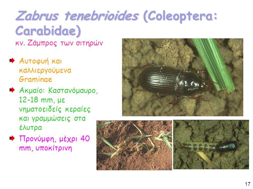 Zabrus tenebrioides (Coleoptera: Carabidae) Zabrus tenebrioides (Coleoptera: Carabidae) κν.
