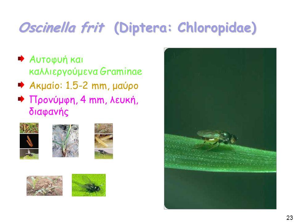 Oscinella frit (Diptera: Chloropidae) Αυτοφυή και καλλιεργούμενα Graminae Ακμαίο: 1.5-2 mm, μαύρο Προνύμφη, 4 mm, λευκή, διαφανής 23