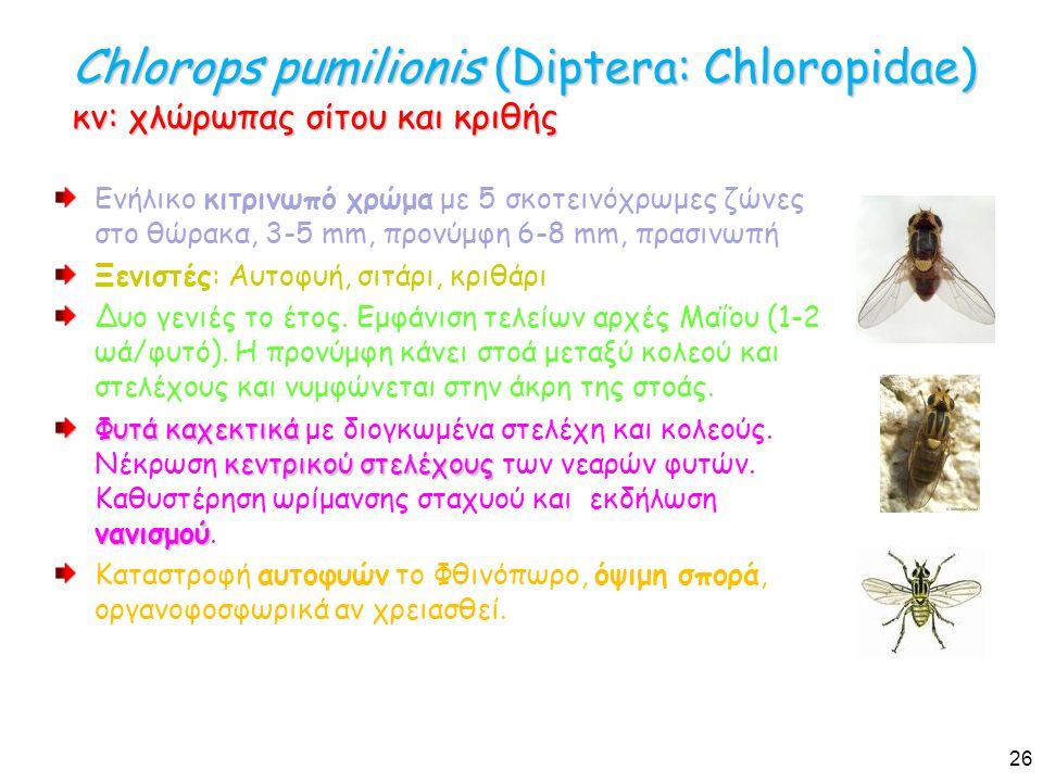 Chlorops pumilionis (Diptera: Chloropidae) κν: χλώρωπας σίτου και κριθής Ενήλικο κιτρινωπό χρώμα με 5 σκοτεινόχρωμες ζώνες στο θώρακα, 3-5 mm, προνύμφη 6-8 mm, πρασινωπή Ξενιστές: Αυτοφυή, σιτάρι, κριθάρι Δυο γενιές το έτος.