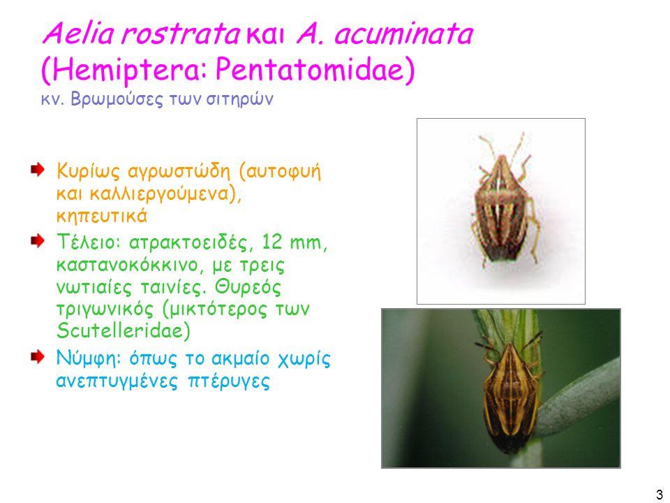 Aelia rostrata και A. acuminata (Hemiptera: Pentatomidae) κν.