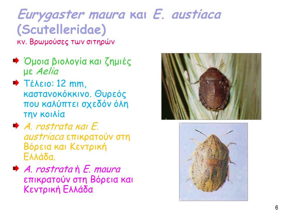 Eurygaster maura και E. austiaca (Scutelleridae) κν.
