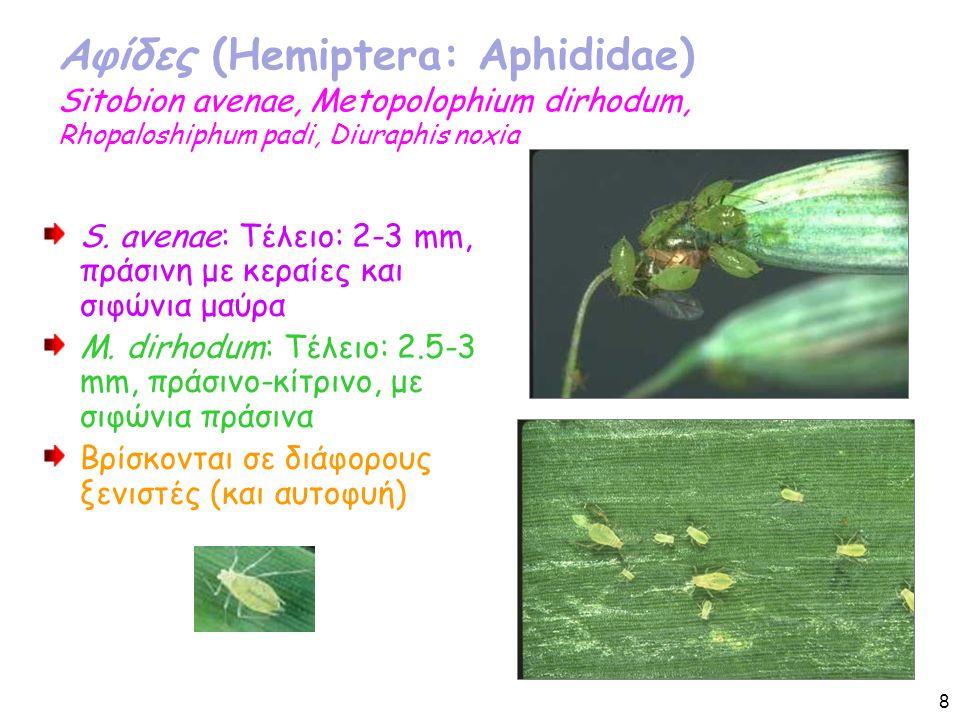 Αφίδες (Hemiptera: Aphididae) Sitobion avenae, Metopolophium dirhodum, Rhopaloshiphum padi, Diuraphis noxia S.