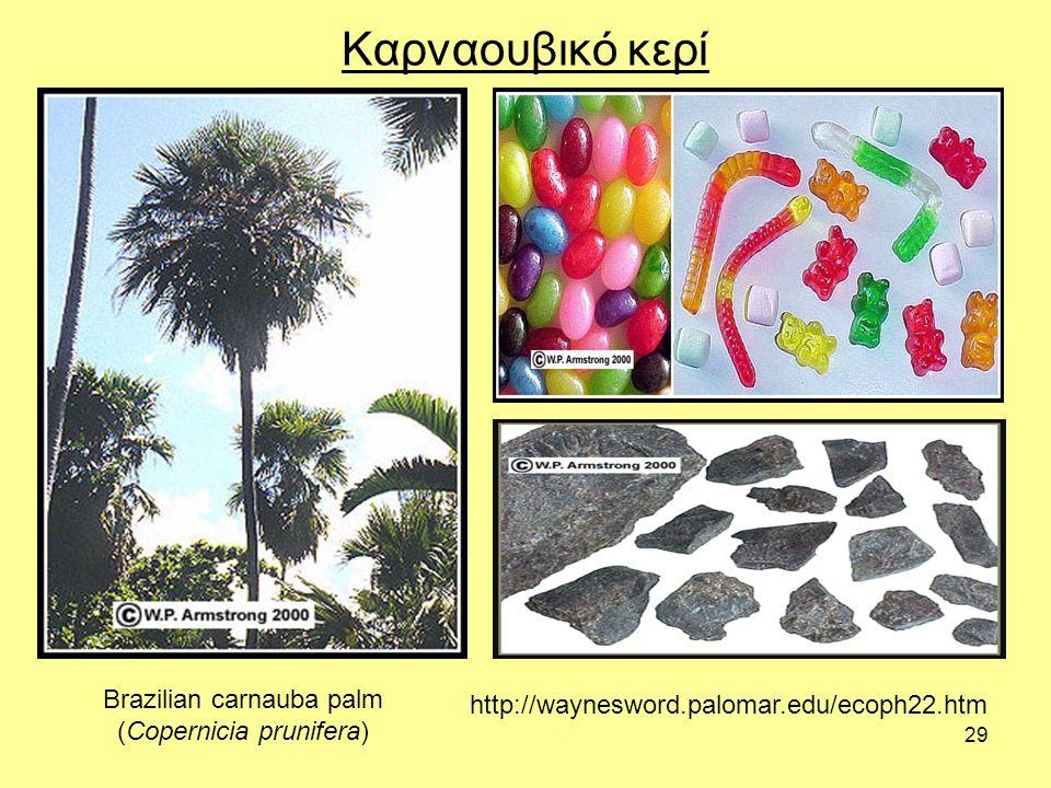 29 Καρναουβικό κερί Brazilian carnauba palm (Copernicia prunifera) http://waynesword.palomar.edu/ecoph22.htm