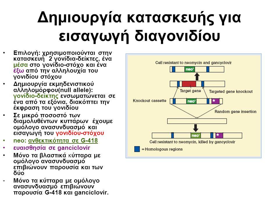 Δημιουργία κατασκευής για εισαγωγή διαγονιδίου Επιλογή: χρησιμοποιούνται στην κατασκευή 2 γονίδια-δείκτες, ένα μέσα στο γονίδιο-στόχο και ένα έξω από την αλληλουχία του γονιδίου στόχου Δημιουργία εκμηδενιστικού αλληλομόρφου(null allele): γονίδιο-δείκτης ενσωματώνεται σε ένα από τα εξόνια, διακόπτει την έκφραση του γονιδίου Σε μικρό ποσοστό των διαμολυθέντων κυττάρων έχουμε ομόλογο ανασυνδυασμό και εισαγωγή του γονιδίου-στόχου neo: ανθεκτικότητα σε G-418 ευαισθησία σε ganciclovir Μόνο τα βλαστικά κύτταρα με ομόλογο ανασυνδυασμό επιβιώνουν παρουσία και των δύο -Μόνο τα κύτταρα με ομόλογο ανασυνδυασμό επιβιώνουν παρουσία G-418 και ganciclovir.