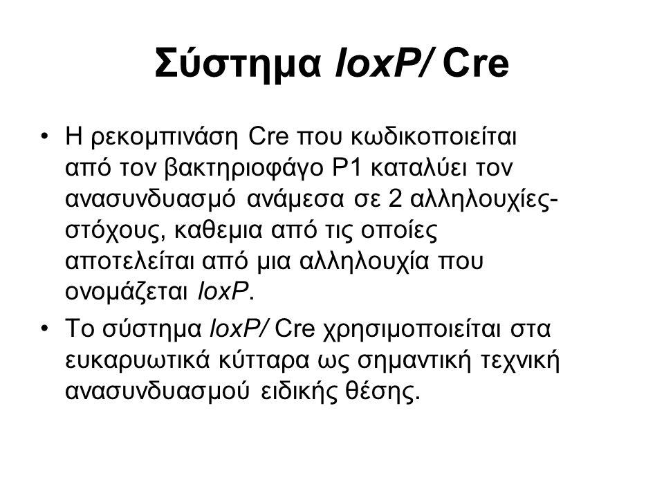 Σύστημα loxP/ Cre Η ρεκομπινάση Cre που κωδικοποιείται από τον βακτηριοφάγο Ρ1 καταλύει τον ανασυνδυασμό ανάμεσα σε 2 αλληλουχίες- στόχους, καθεμια από τις οποίες αποτελείται από μια αλληλουχία που ονομάζεται loxP.