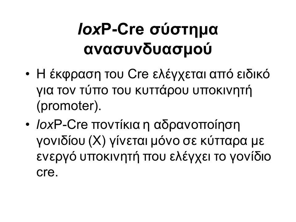 loxP-Cre σύστημα ανασυνδυασμού Η έκφραση του Cre ελέγχεται από ειδικό για τον τύπο του κυττάρου υποκινητή (promoter).