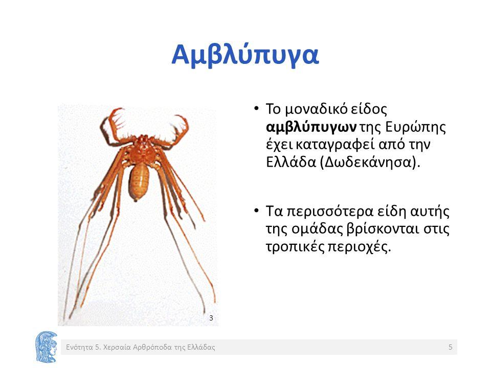 Αμβλύπυγα Το μοναδικό είδος αμβλύπυγων της Ευρώπης έχει καταγραφεί από την Ελλάδα (Δωδεκάνησα).