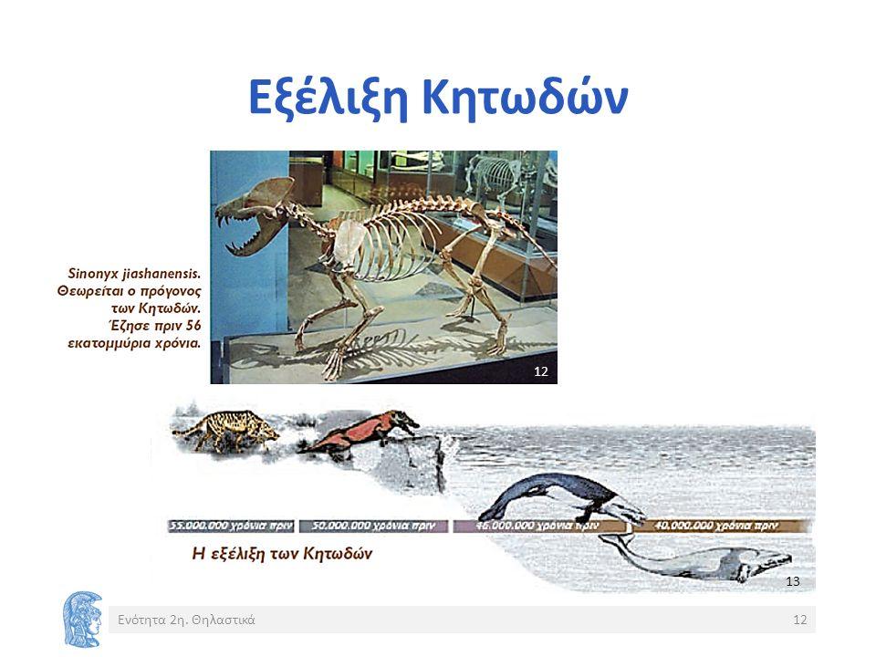 Εξέλιξη Κητωδών Ενότητα 2η. Θηλαστικά12 13