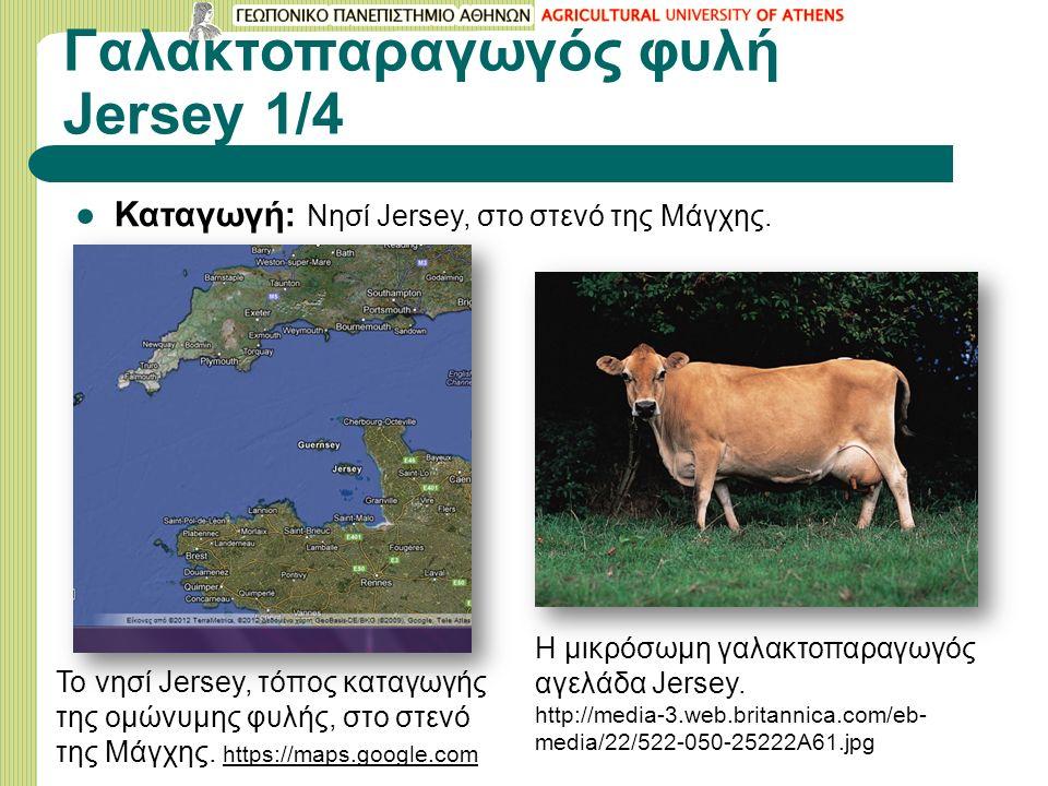 Γαλακτοπαραγωγός φυλή Jersey 1/4 ●Καταγωγή: Νησί Jersey, στο στενό της Μάγχης.