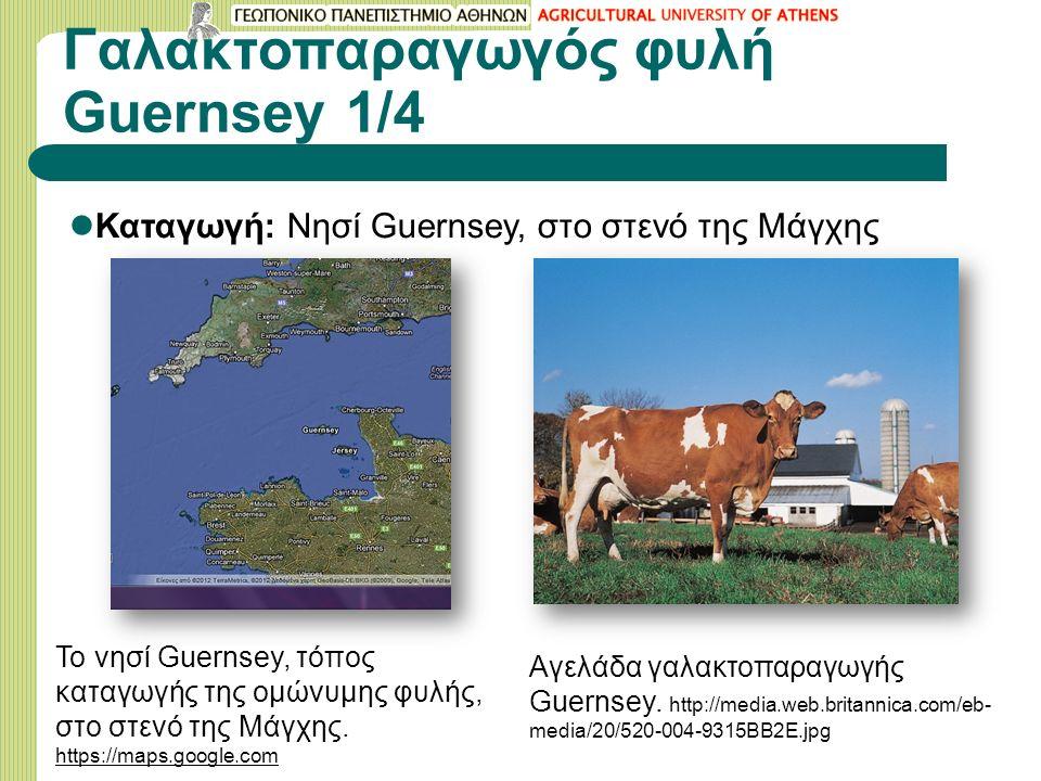 Γαλακτοπαραγωγός φυλή Guernsey 1/4 Καταγωγή: Νησί Guernsey, στο στενό της Μάγχης Το νησί Guernsey, τόπος καταγωγής της ομώνυμης φυλής, στο στενό της Μάγχης.