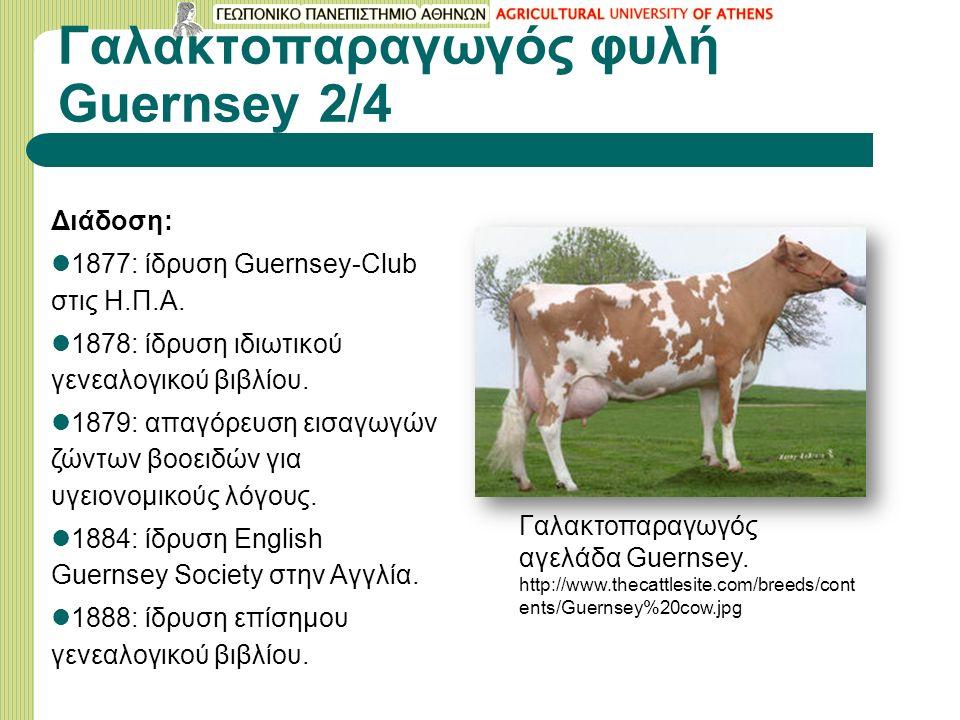 Γαλακτοπαραγωγός φυλή Guernsey 2/4 Διάδοση: 1877: ίδρυση Guernsey-Club στις Η.Π.Α.