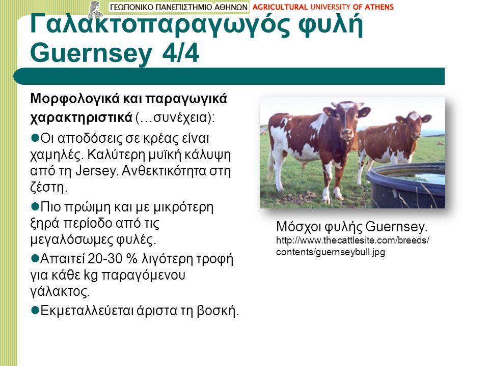 Γαλακτοπαραγωγός φυλή Guernsey 4/4 Μορφολογικά και παραγωγικά χαρακτηριστικά (…συνέχεια): Οι αποδόσεις σε κρέας είναι χαμηλές.
