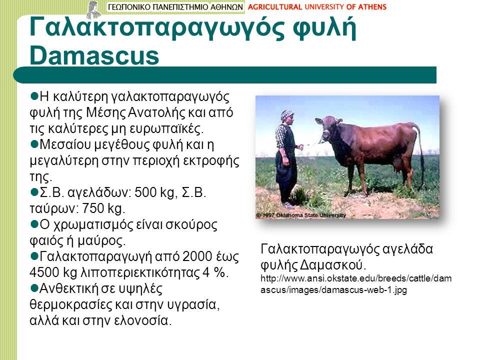 Γαλακτοπαραγωγός φυλή Damascus Η καλύτερη γαλακτοπαραγωγός φυλή της Μέσης Ανατολής και από τις καλύτερες μη ευρωπαϊκές.
