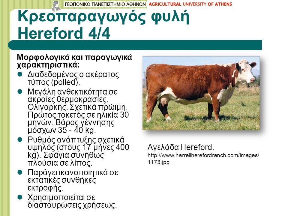 Κρεοπαραγωγός φυλή Hereford 4/4 Μορφολογικά και παραγωγικά χαρακτηριστικά: Διαδεδομένος ο ακέρατος τύπος (polled).