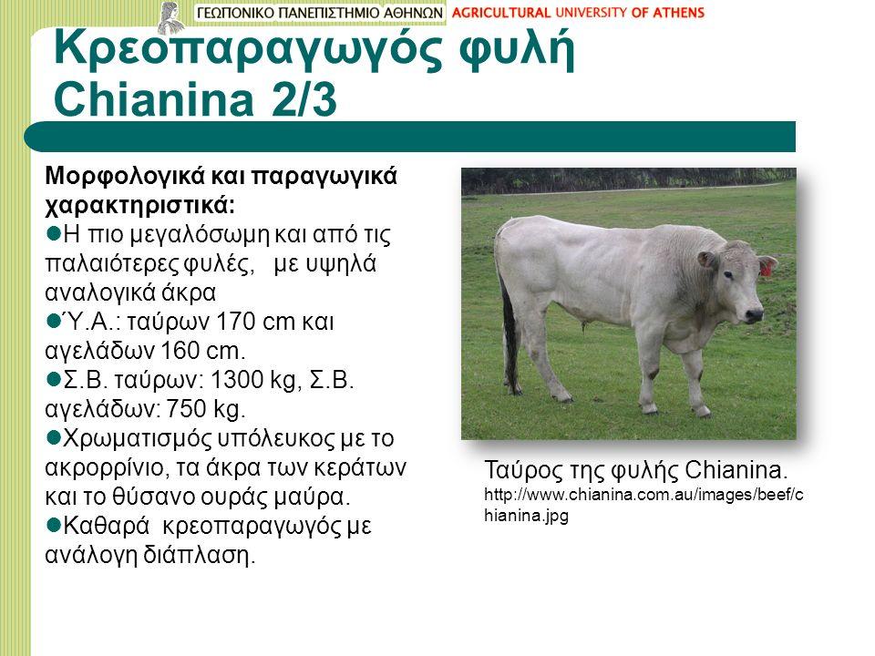 Κρεοπαραγωγός φυλή Chianina 2/3 Mορφολογικά και παραγωγικά χαρακτηριστικά: Η πιο μεγαλόσωμη και από τις παλαιότερες φυλές, με υψηλά αναλογικά άκρα Ύ.Α.: ταύρων 170 cm και αγελάδων 160 cm.
